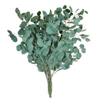 Eucalyptus Silver Dollar 10 Packs Orlando Flower Market