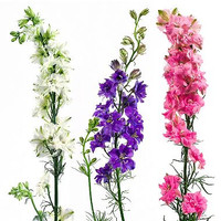 Larkspur Assorted (100 Stems)