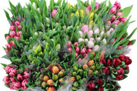 Dutch Tulips (50 stems)