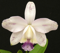 C. intermedia var. coerulea 'Haneda' x self.