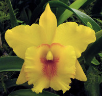 Blc. Odom's Sweet Lemon.