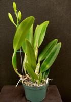 Cattleya Orchid in Bud Offer