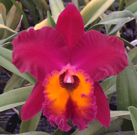 Blc. Sunstate Colorchart 'Heaven Bird'.
