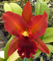 Lc. Loog Tone 'African Beauty' x Lc. Royal Emperor 'Wade'.