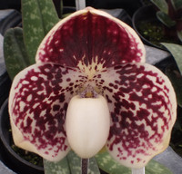 Paph. leucochilum '#39' x 'Red Peal'.