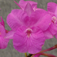 Bro. sanguinea (4n pink form).