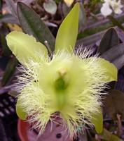 B. digbyana 'Orchid Alley' HCC/AOS