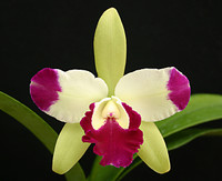 Eplc. Mae Bly 'Ching Hua Splash' AM/AOS.
