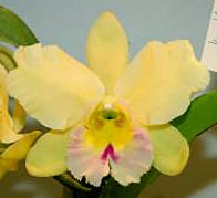 Blc. Dewy Forest 'Blumen Insel'.