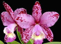 C. Orchidom Brabant 'Ocelot' HCC/AOS.