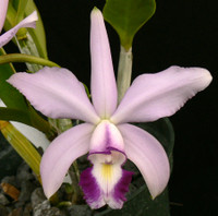 C. violacea var. coerulea.