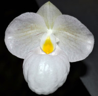 Paph. Magic Lantern v. album.
