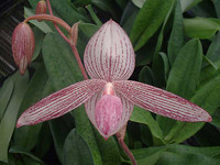 Paph. Delrosi.