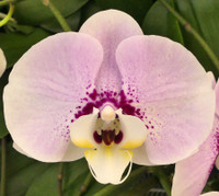 Phal. Younghome Melody.