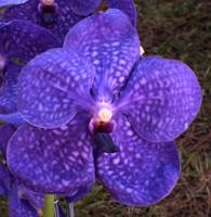 V. Pachara Delight 'Blue' AM/AOS.