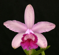 C. intermedia var. orlata 'Rio' AM/AOS.