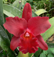 Blc. Miya's Fascination 'Odom's Wildfire' AM/AOS.