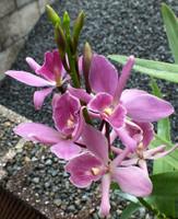 Epc. Frances Dyer 'Odom's Orchids'.