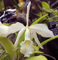 C. maxima var. alba 'Konniga Sylva'.