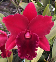 Pot. Shinfong Beauty 'Regal Ruby'.