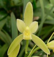 Cym. ensifolium var. alba.