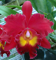 Blc. Sanyung Ruby 'New Beauty'.