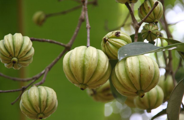 Garcinia Cambogia The Mystical Fat Burning Fruit Life Food