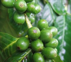 green-coffee-beans.jpg