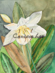Amazon Lilly