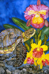 The Orchid Turtle