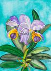 Labiata Pallivia Cattleya