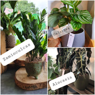 A gift of two lovely potted houseplants, in on-trend ceramic containers. Due to changing stock, the species of the houseplants will vary as will the style of the pot. We will select and gift wrap the loveliest, greenest plants for you from our stock. We offer plants that are suitable for novice plant-keepers and easy to care for!  If you would like to know today's selection please don't hesitate to contact our friendly shop to check!