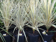 Cordyline 30CM | Fairdinks