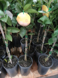 Potted Eureka Lemons 16.5CM Pot Size | Fairdinks