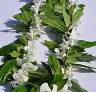 Hardy white orchid (no scent) is wrapped around the maile. A very popular wedding or graduation lei. (Shown here with Cooke Island style maile)  Care: Keep in a plastic bag in the fridge until ready to use.  Hang to dry after your event.  Life:  The orchid lei will last up to four days, the maile, a week.