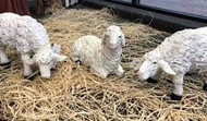 Three piece lamb set with one lying, one grazing, and one standing with its neck lowered.