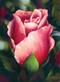 16 x 22 Early Morning Rose S465-11/750 Original Painting in Pastel Print by Susan Edgmon