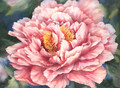 11 x 15 Glorious Peony S470-16/500 Original Painting in Watercolor Print by Susan Edgmon