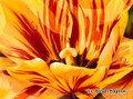 16 x 22 Lutie's Tulip S534-7/750 Original Painting in Pastel Print by Susan Edgmon