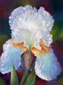 10.75 x 14.75 Robert's Iris S535-3/750 Original Painting in Pastel Print by Susan Edgmon