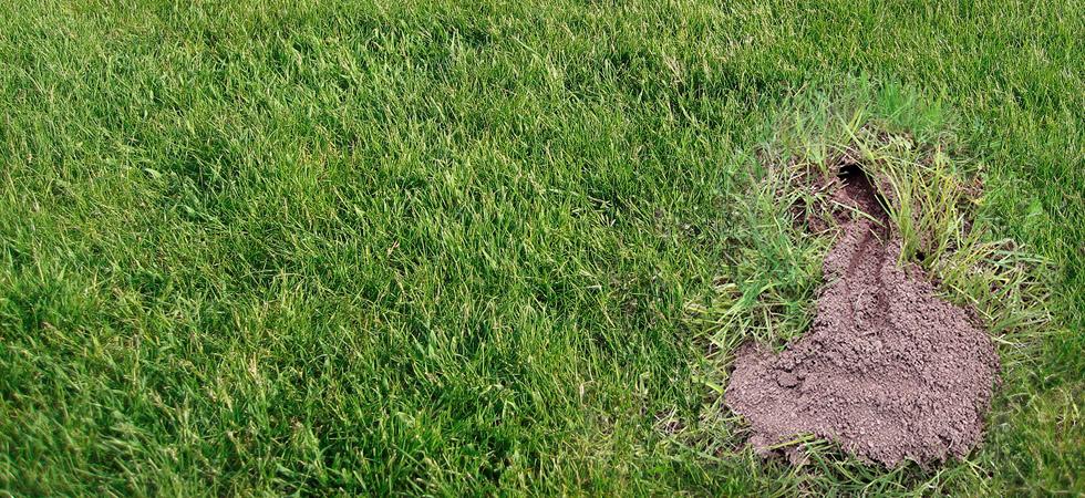 cicadawasp-burrow.jpg