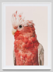 ROSE COCKATOO