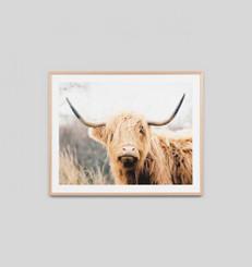 Highland Bovine
