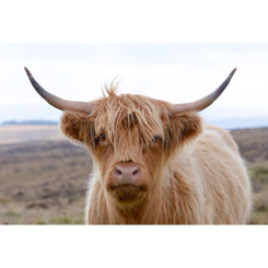 ENGLISH HIGHLAND COW