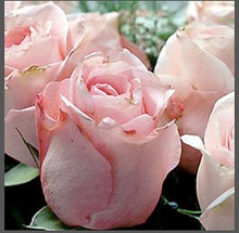 """One of the rarest of all essential oils, """"Rose Damask"""" is worthy of this sensual organic perfume!"""