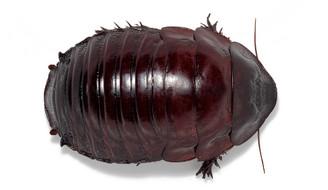 Giant Burrowing Cockroach (Macropanesthia rhinoceros)