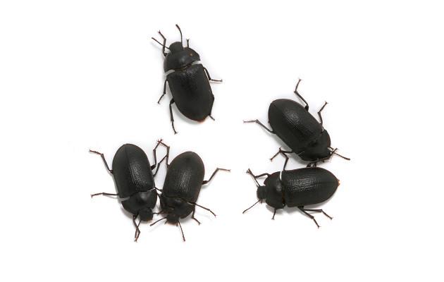 Adult Mallee Darkling Beetles