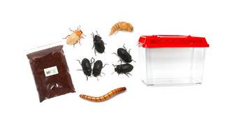 Mallee Darkling Beetle Life Cycle Kit