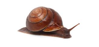 Rainforest Snail (Hadra webbi)