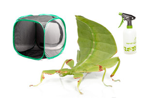 Australian Leaf Insect Mini-kit - Save over 10%